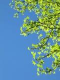 Ljus fjädersky med gröna leaves Royaltyfri Fotografi