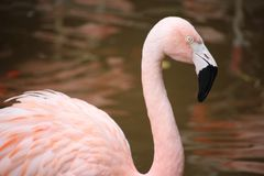 Ljus flamingo Royaltyfria Foton