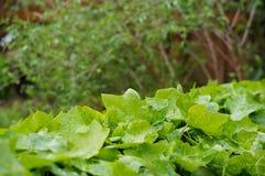 Ljus - gröna blad i trädgården Arkivbild