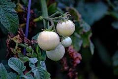 Ljus - gröna unripened tomater Royaltyfria Foton