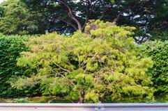 Ljus - grönt träd Fotografering för Bildbyråer