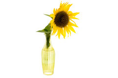 Ljus gul blomma av solrosen i en glass vas royaltyfri bild