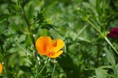 Ljus gul blomma i en säng av gräsplan Fotografering för Bildbyråer