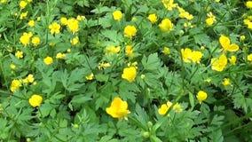 Ljus gul blommande lökformig vårblommaranunculus Skyttepanoramarörelse med steadicam stock video