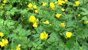Ljus gul blommande lökformig vårblommaranunculus Skyttepanoramarörelse med steadicam lager videofilmer