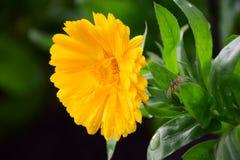 Ljus gul Calendula Officinalis för blomma för krukaringblomma av Maria Rutkovska arkivfoto