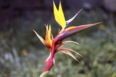 Ljus gul exotisk blommaStrelitzia för blom- bakgrund Symbolmadeira royaltyfria foton