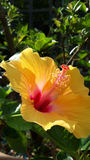 Ljus gul hibiskus Royaltyfri Foto