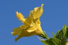 Ljus gul hibiskus med blå himmel som bakgrund och grön lövverk arkivfoton