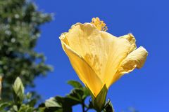 Ljus gul hibiskusblomma Arkivbild