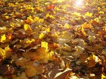 Ljus gul lövverk glöder i strålarna av höstsolen Royaltyfri Bild