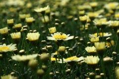 Ljus - gul Leucanthemumvulgare dof Royaltyfri Fotografi