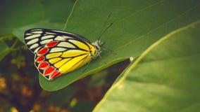 Ljus gul röd fjäril med svarta gränser Arkivfoto