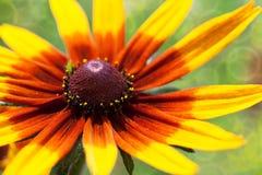 Ljus gul rudbeckia eller svart synad Susan blomma i trädgården Royaltyfri Foto