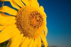 Ljus gul solros i sommartid på bakgrund för blå himmel fotografering för bildbyråer
