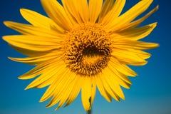 Ljus gul solros i sommartid på bakgrund för blå himmel royaltyfria foton