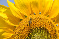 Ljus gul solros mot en blå himmel och ett bi som samlar nektar Arkivbild