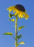 Ljus gul solros mot en djupblå himmel Arkivfoton
