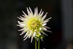 Ljus guling-gräsplan dahlia Royaltyfria Foton