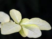 Ljus - gulingsidor på en svart Royaltyfria Bilder