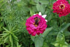 Ljus härlig röd zinniablomma i trädgården Fotografering för Bildbyråer