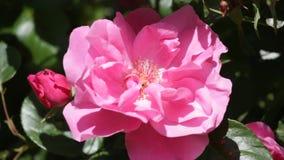 Ljus härlig rosa färgros Arkivfoton