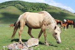 Ljus häst som betar på fältet Arkivfoto