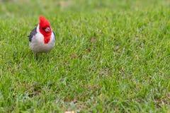 Ljus karmosinröd kardinal Isolated på gräsbakgrund arkivfoton