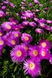 ljus krypa rosa växtsuckulent för blomma royaltyfri foto