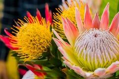ljus kulör konung Protea från Fynbosen av Cape Town Sydafrika royaltyfri fotografi