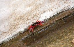 ljus kulör krabba nicaragua Arkivbilder