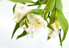 ljus lilja Arkivfoton