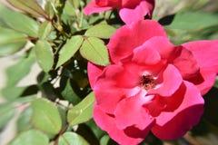 Ljus mörk rosa färgrosblomma i morgonsolljuset Royaltyfria Foton