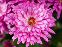 Ljus magentafärgad krysantemum Arkivfoton