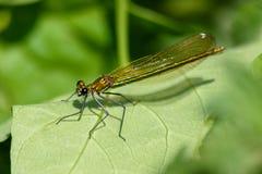 Ljus metallisk grön damselfly som vilar på ett blad royaltyfri bild