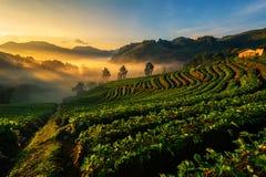 Ljus morgonmist jordgubbelantgården är Ang Khang i Thailand Royaltyfri Fotografi