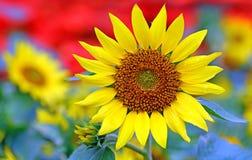 Ljus och gladlynt solros på en solig dag fotografering för bildbyråer