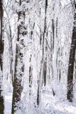 Ljus och insnöat skogen Royaltyfri Bild