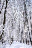 Ljus och insnöat skogen Royaltyfri Foto