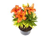 Ljus orange asiat Lily Plant på vit bakgrund Royaltyfri Fotografi