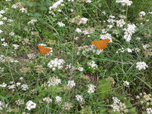 Ljus orange fjäril bland vildblommorna Royaltyfria Foton