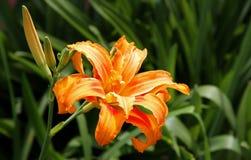 Ljus orange lilja. Sommarträdgård. Royaltyfri Fotografi