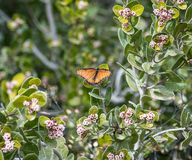 Ljus orange monarkfjäril som kura ihop sig bland gröna sidor arkivfoton