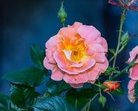 Ljus - orange växt för rosa chinensis vårblomma Royaltyfria Bilder