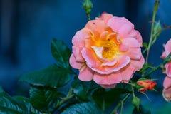Ljus - orange växt för rosa chinensis vårblomma Arkivbilder