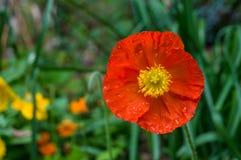 Ljus orange vallmoblomma mot grön lövverk på backgrouen Fotografering för Bildbyråer