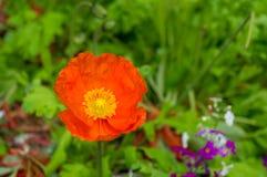 Ljus orange vallmoblomma mot grön lövverk på backgrouen Royaltyfria Bilder