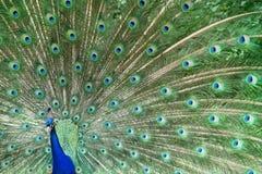 Ljus påfågel som visar fjädrar arkivbilder