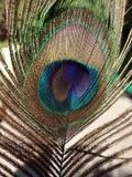 Ljus påfågelfjäder nära Lens Royaltyfri Bild