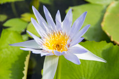 Ljus - purpurfärgad lotusblomma Arkivbilder